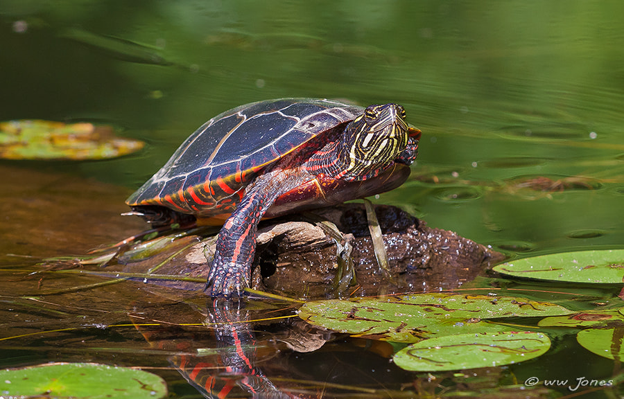 Photograph Painted Turtle by Wayne Jones on 500px