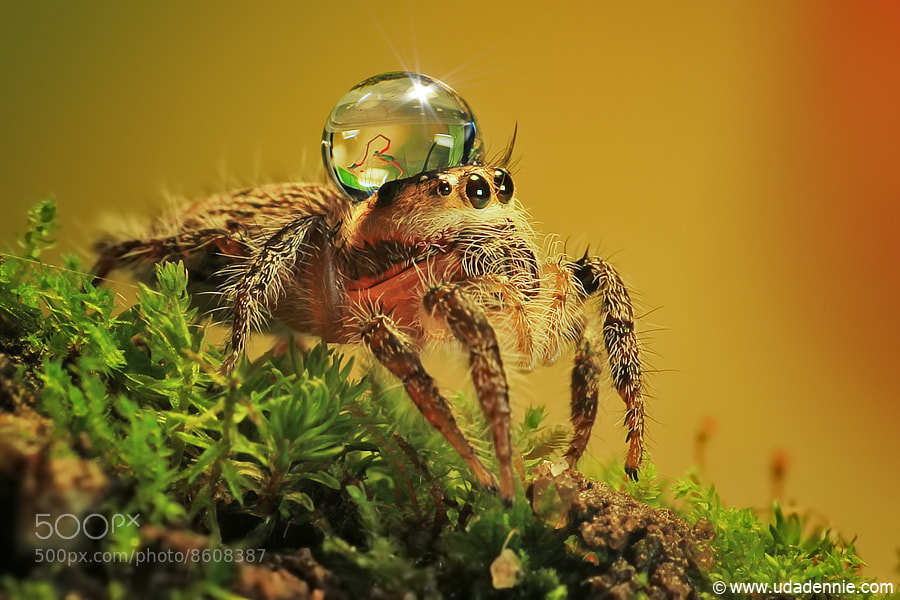 Photograph Spider, dew and damself reflection by Uda Dennie on 500px