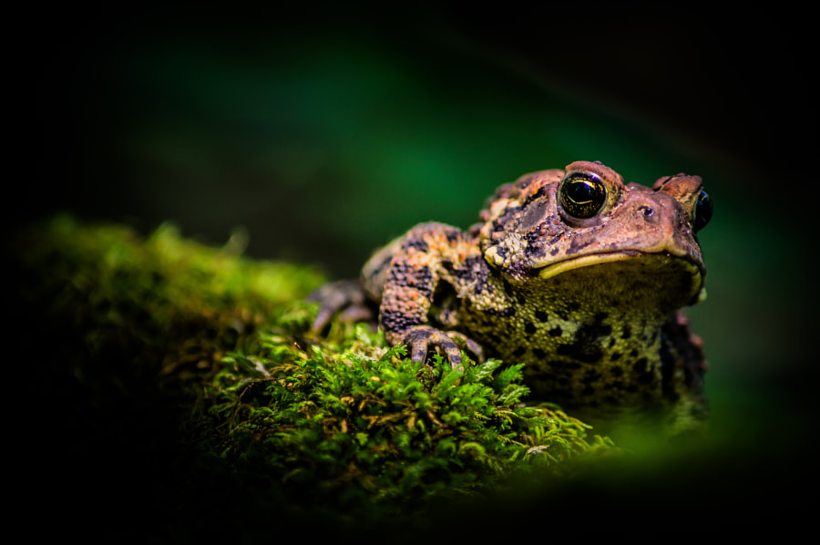 Photograph Anaxyrus on Bryopsida by Tyler Ruetz on 500px