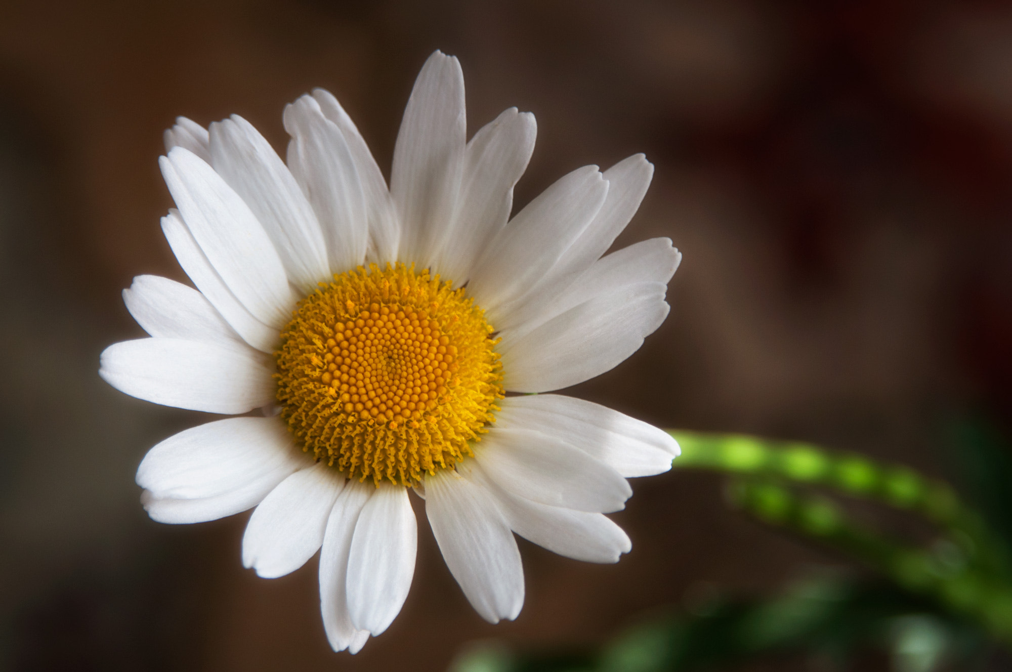 Photograph A Daisy a Day Keeps the Blues Away by Carla Stringari Pudler on 500px