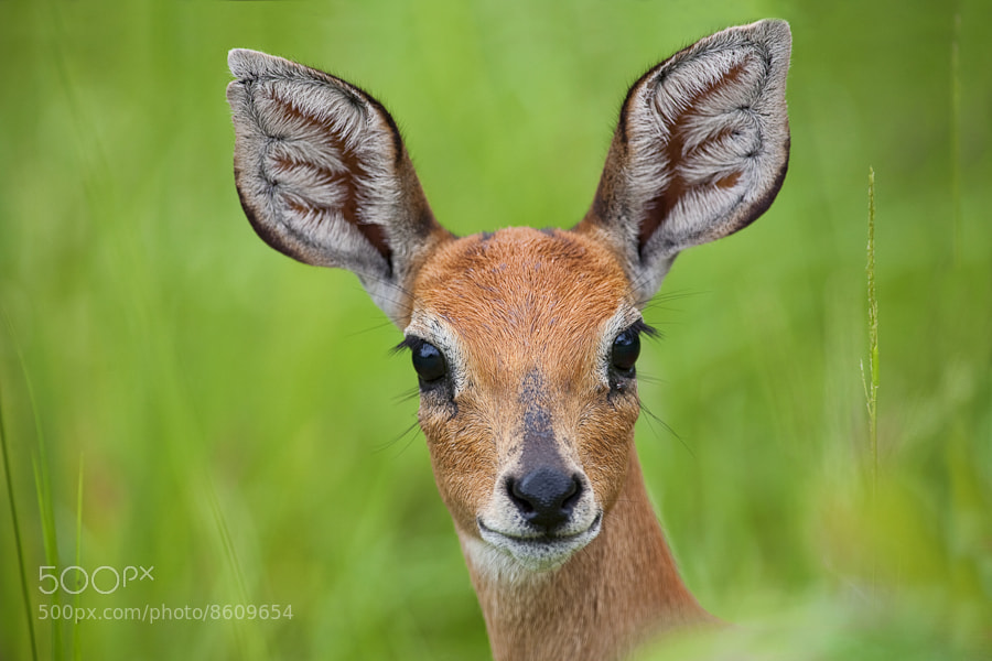 Photograph I am a Steenbok by Mario Moreno on 500px