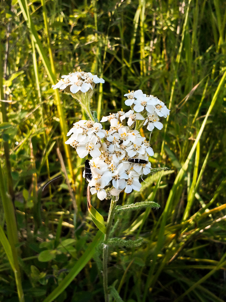 Photograph Yarrow by Marcia and Mike Nelson Pedde on 500px