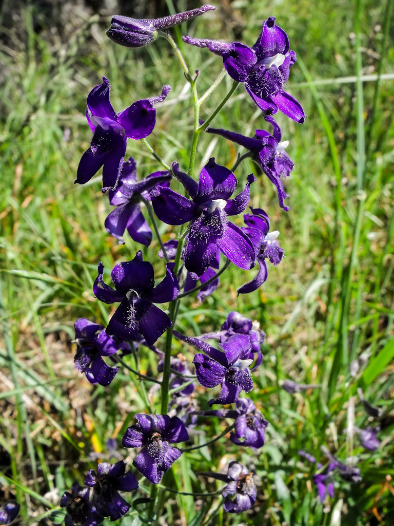 Photograph Menzies Larkspur by Marcia and Mike Nelson Pedde on 500px