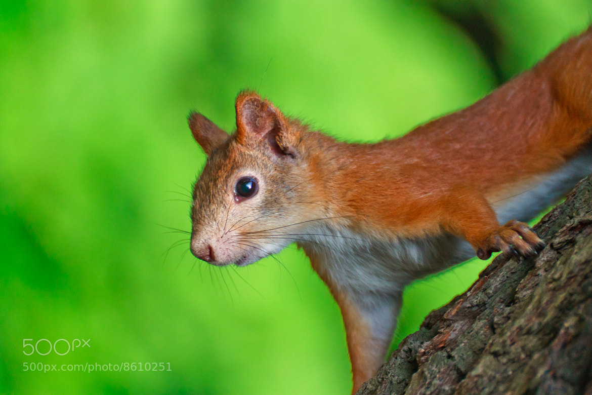 Photograph Squirrel by Denis Bugrov on 500px