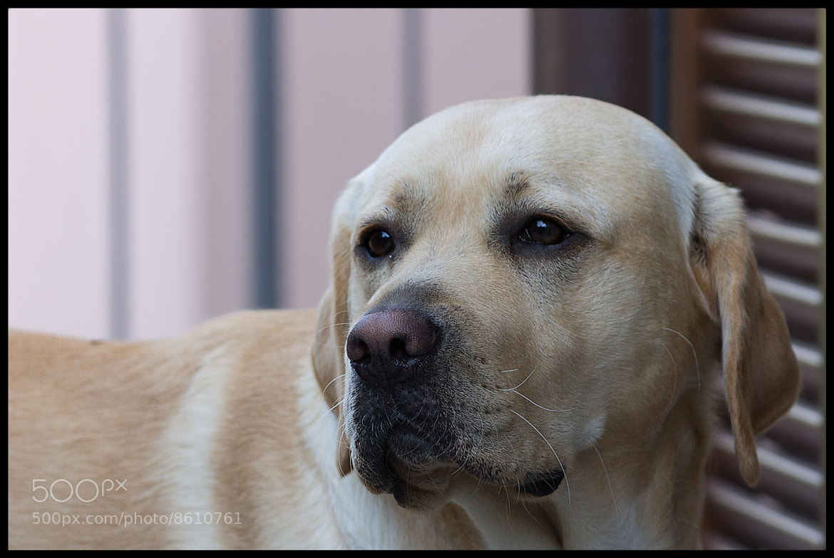 Photograph Labrador by Lele Erre on 500px