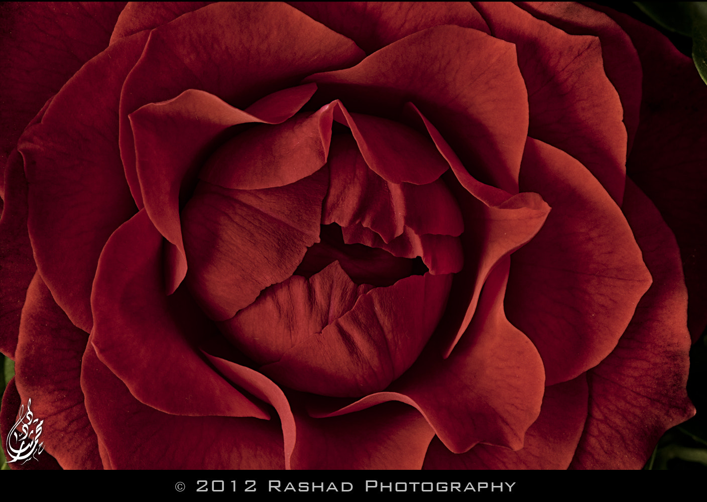 Photograph Dark Rose by Mohammed Rashad on 500px