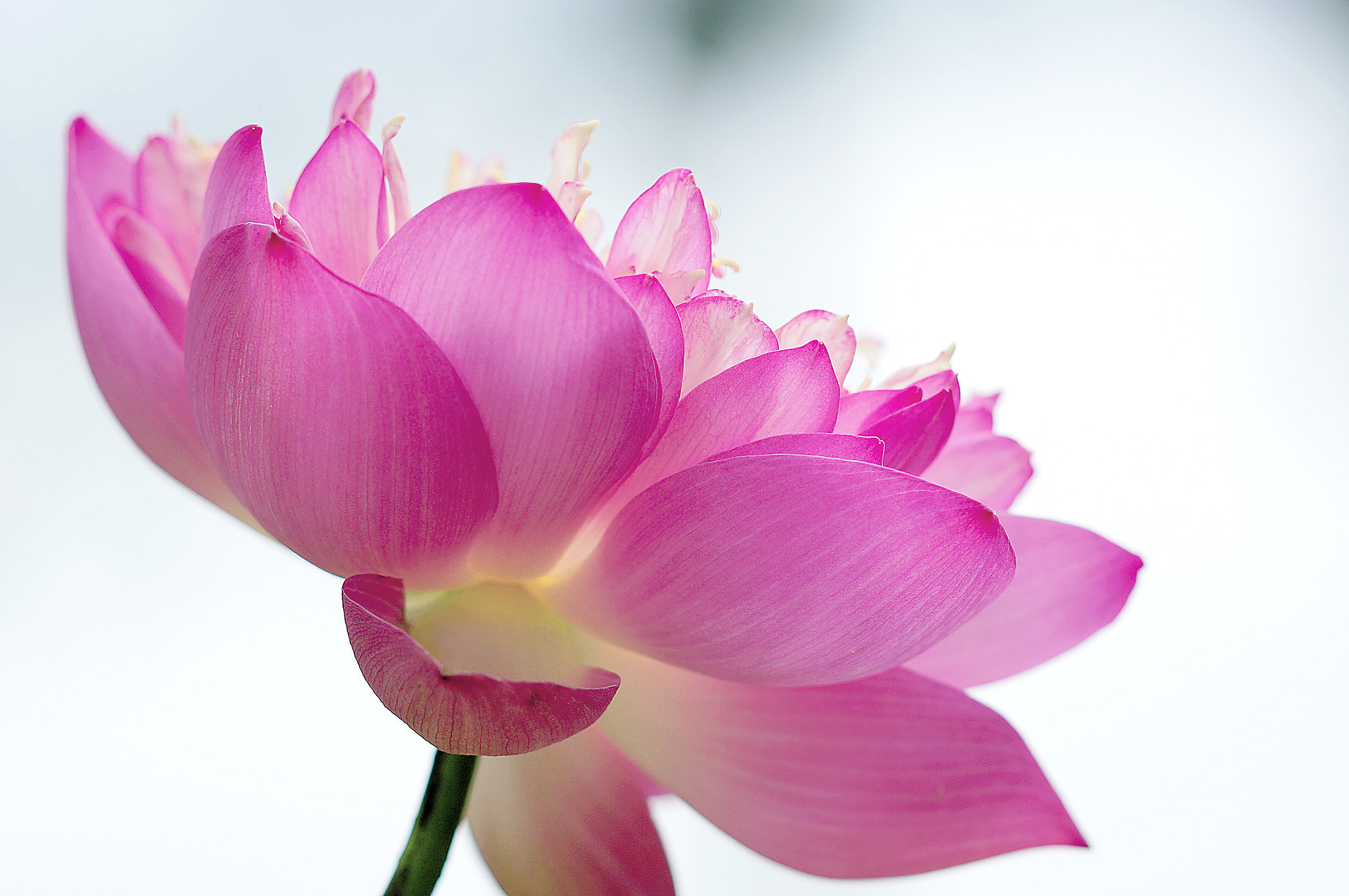 Photograph Lotus by Diep Nguyen on 500px