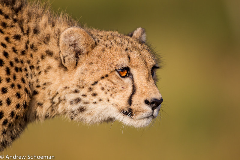 Photograph Cheetah Stare by Andrew Schoeman on 500px
