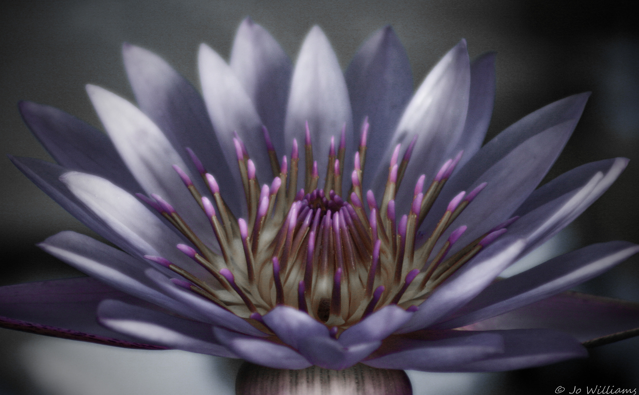 Photograph .........Lavender Lily by jo williams on 500px