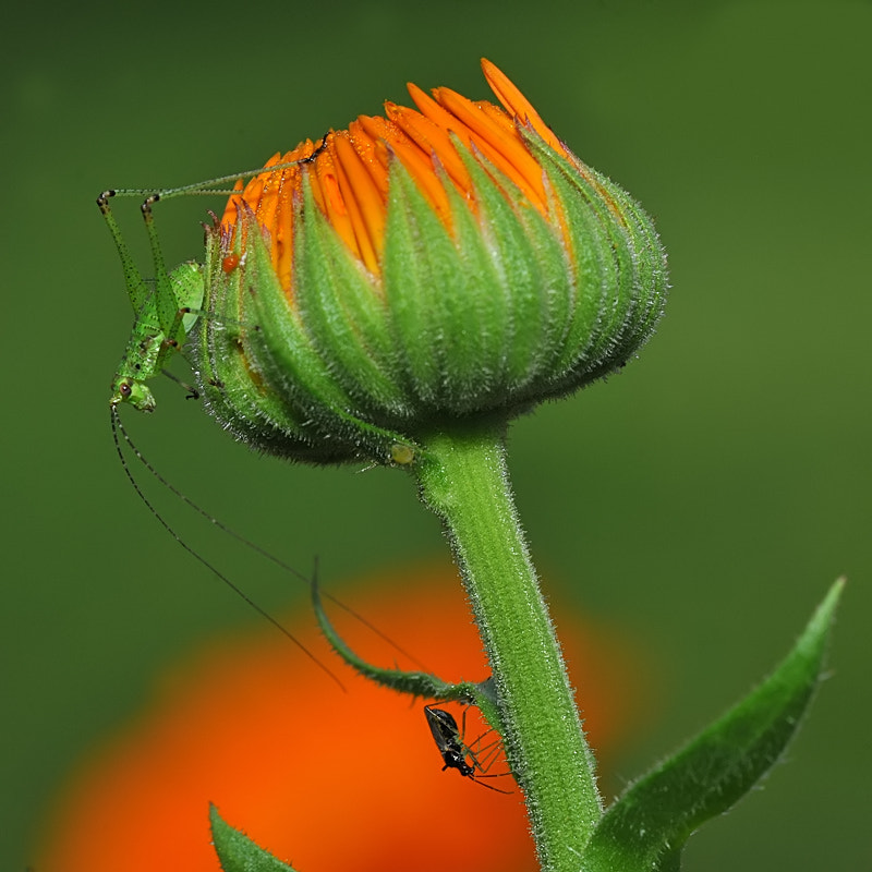 Photograph mini cricket in defense of the newborn under the crown by Franco Mottironi on 500px