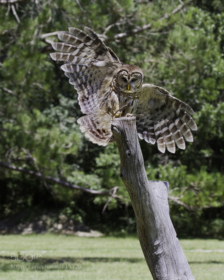 Photograph Ural Owl Landing  by John Mead on 500px