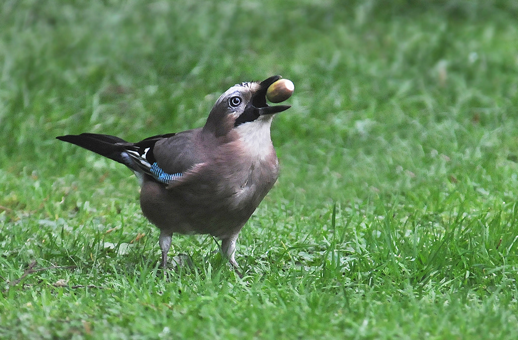 Photograph Jay Tossing an Acorn by Andrew Chu on 500px