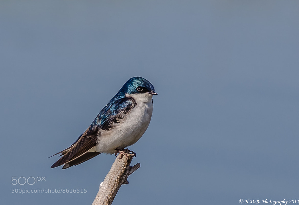 Photograph Swallow by Harold Begun on 500px