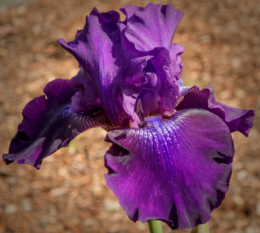 Confused Purple Iris