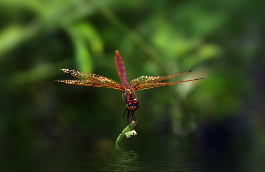 Photograph Dragonfly  by Khoo Boo Chuan on 500px