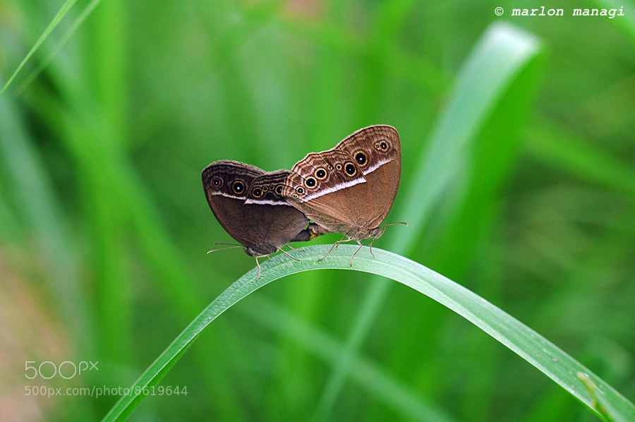 Photograph Butterfly in Love by Marlon Managi on 500px