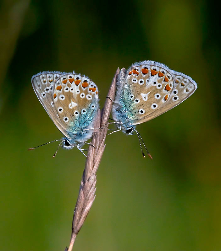 Photograph common blue butterfly by dave blackwell on 500px