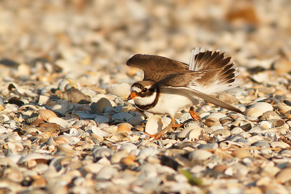 Photograph Ringed plover by Tom  Kruissink on 500px