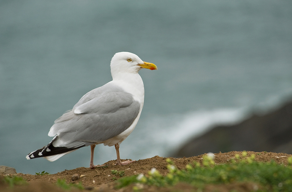 Photograph Herring Gull by Geoffrey Baker on 500px