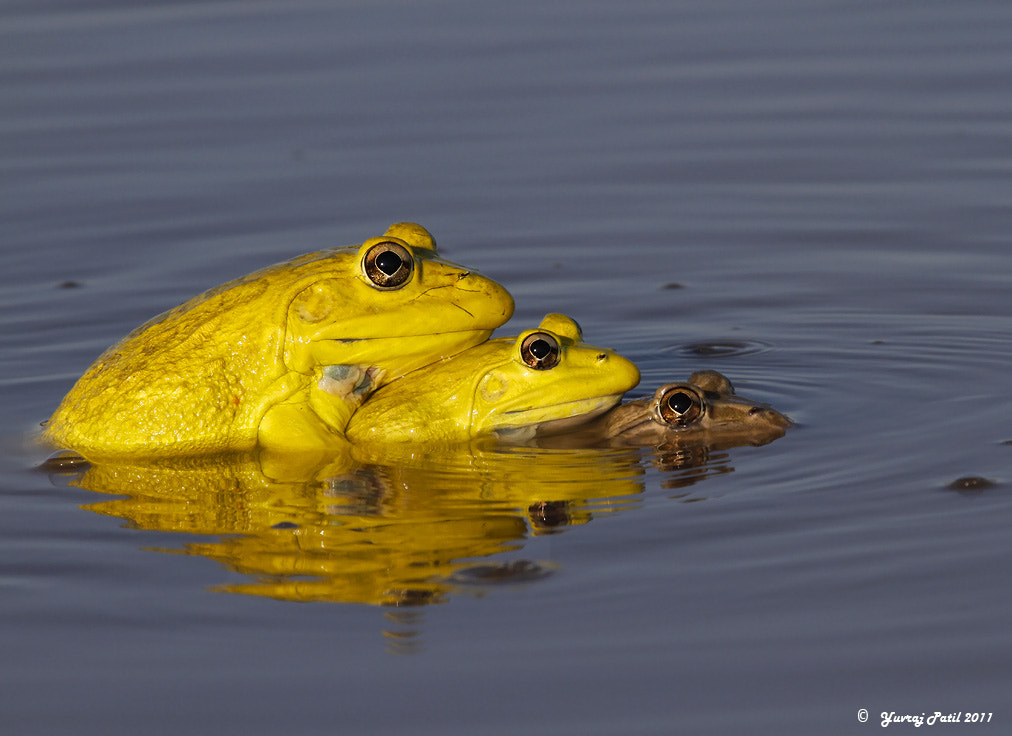 Photograph Indian Bullfrog by Yuvraj Patil on 500px