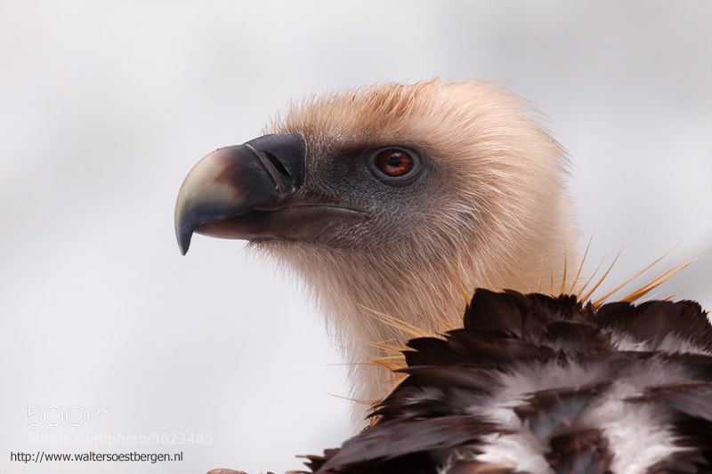 Photograph Griffon Vulture (C) by Walter Soestbergen on 500px