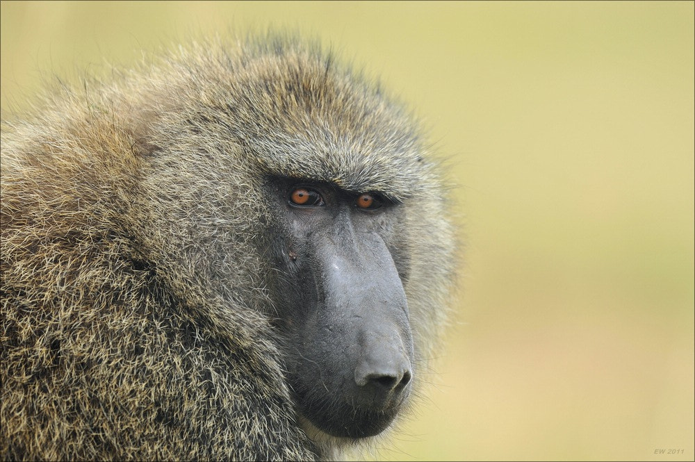 Photograph Baboon by Elmar Weiss on 500px