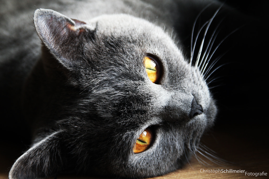 Photograph Dexter - The Cat - 6 by Christoph Schillmeier on 500px