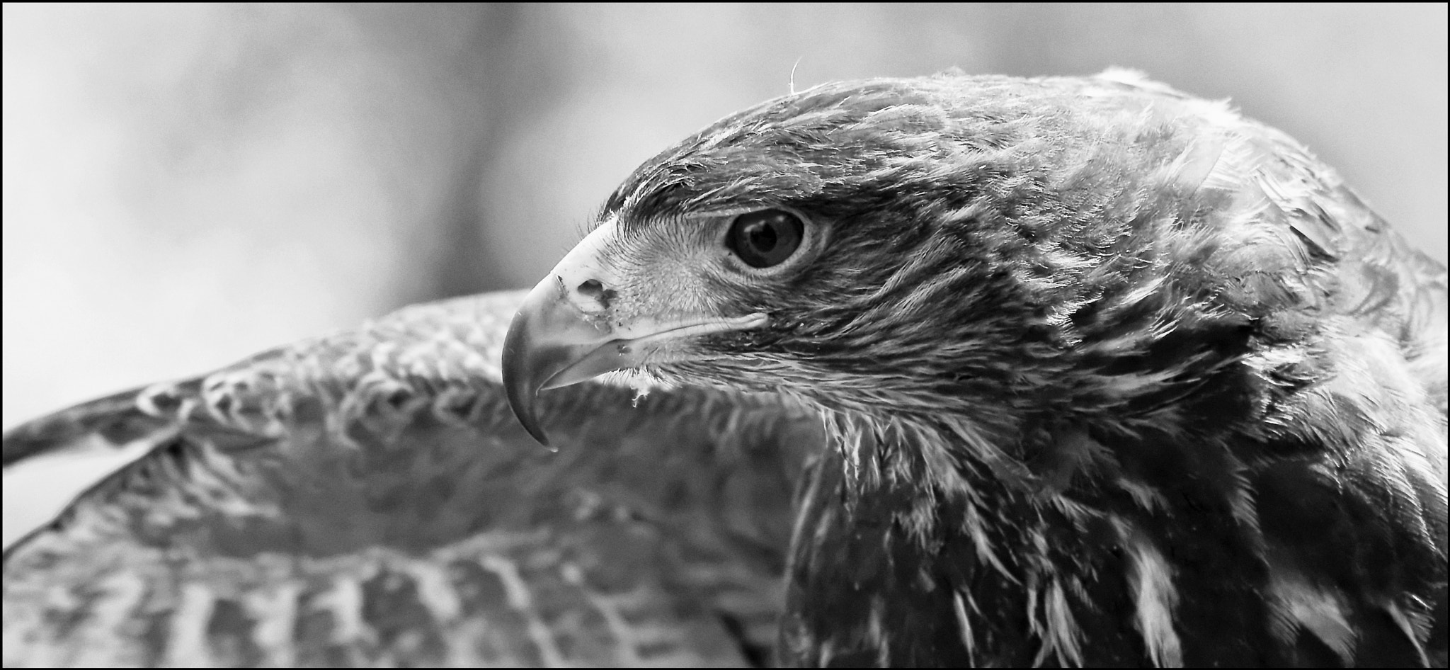 Photograph Hawk by Mat Whittington on 500px
