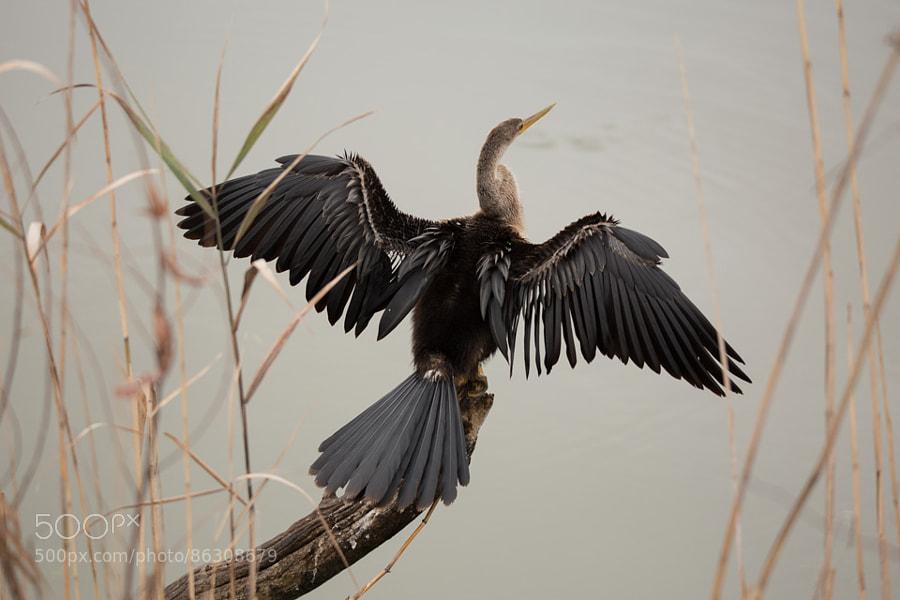 Anhinga drying its feathers at Huntington Beach State Park, South Carolina.