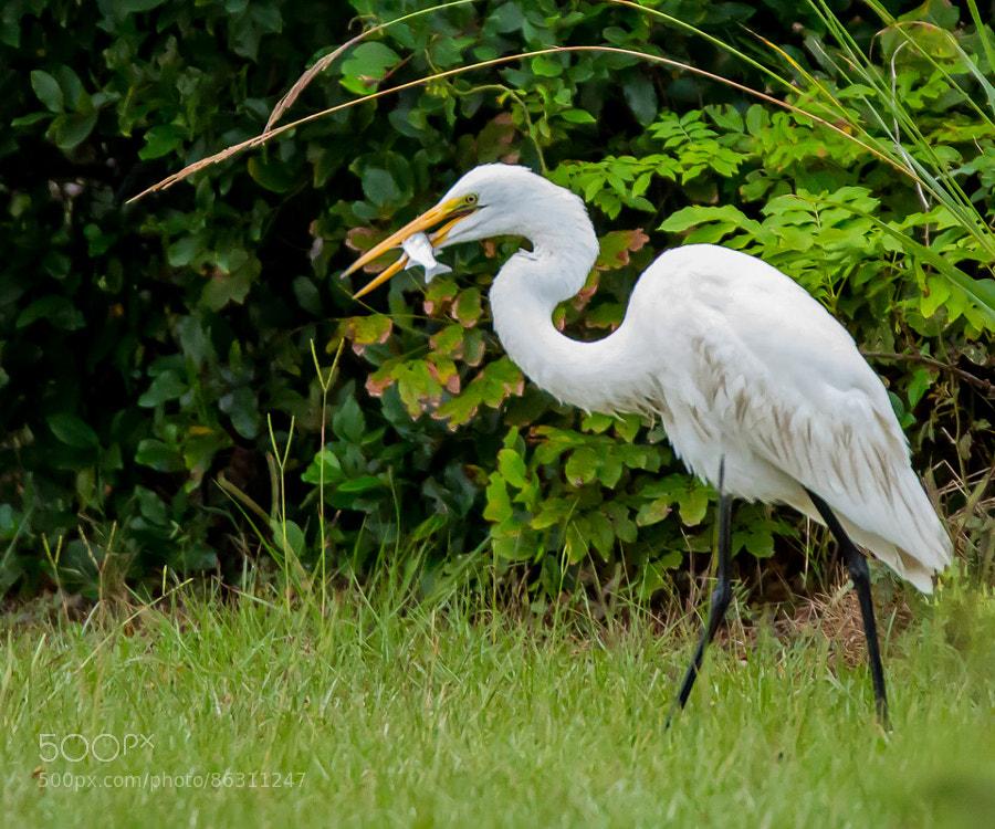 Great egret enjoying a breakfast he had just caught in the marsh on Pawleys Island, South Carolina.