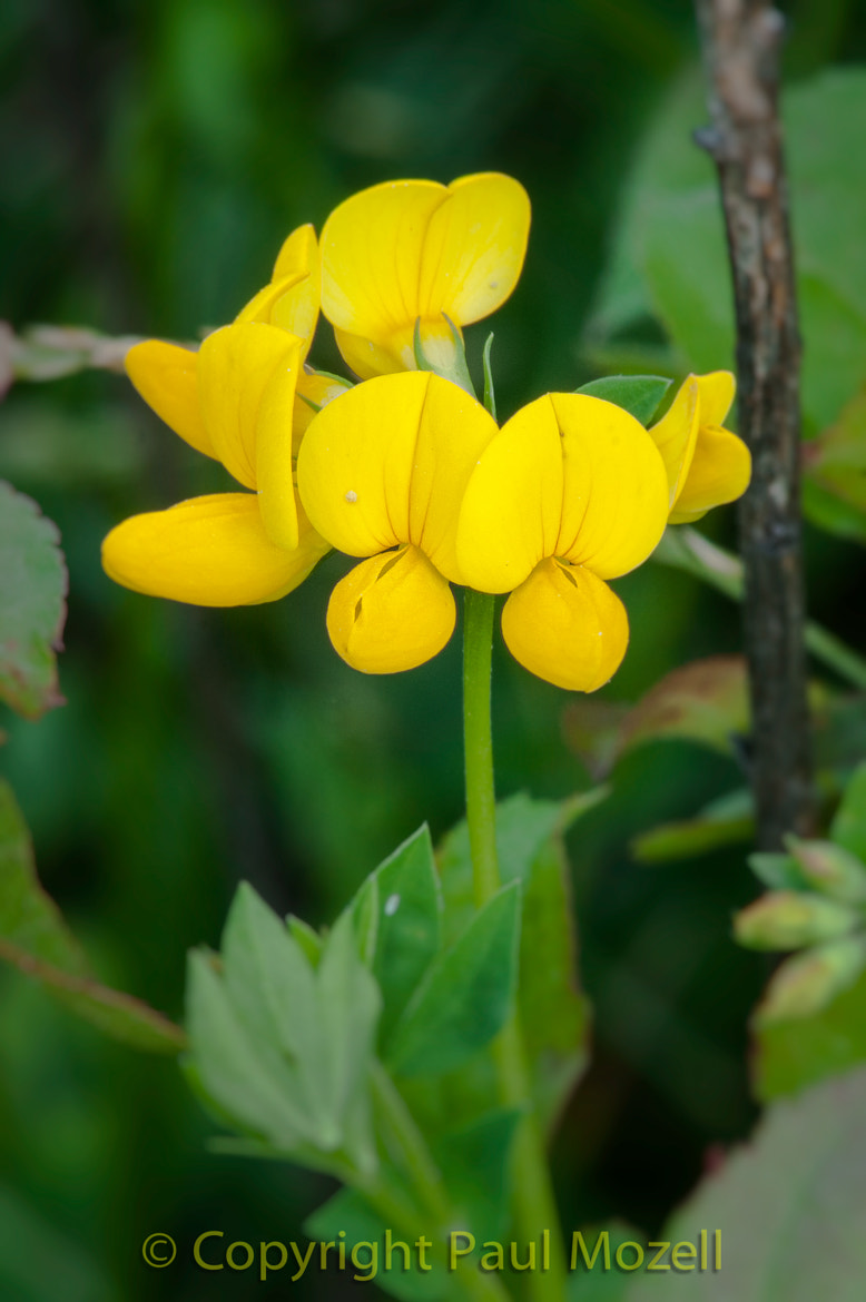 Photograph Birdsfoot Trefoil by Paul Mozell on 500px