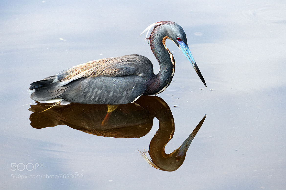 Photograph Tricolored Heron by J.  on 500px
