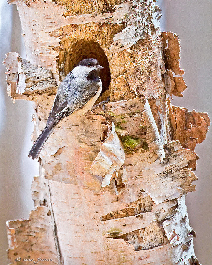 Photograph Black-capped Chickadee at Nest by Wayne Jones on 500px