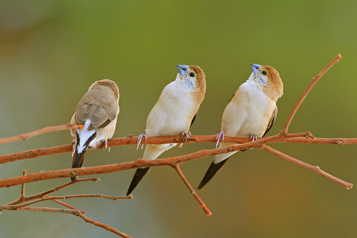 Photograph indian silverbill by Hemant Kumar on 500px