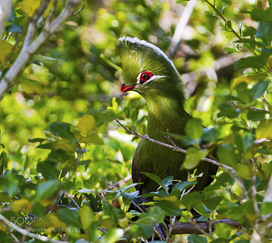 Photograph Knysna Turaco by Clive Wright on 500px