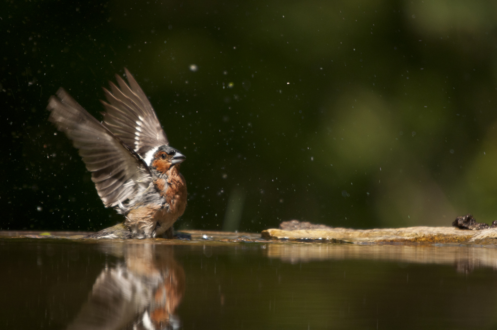 Photograph Chaffinch down by the water by Frank Paul Silye on 500px