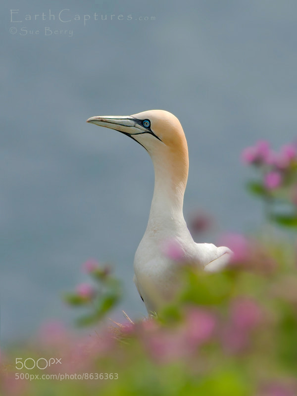 Photograph Gannet  by Sue Berry on 500px
