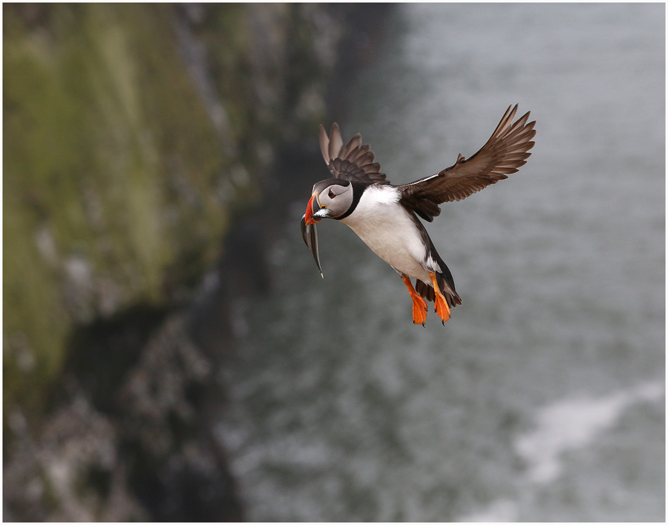 Photograph Puffin with Fish by Alan Coles on 500px
