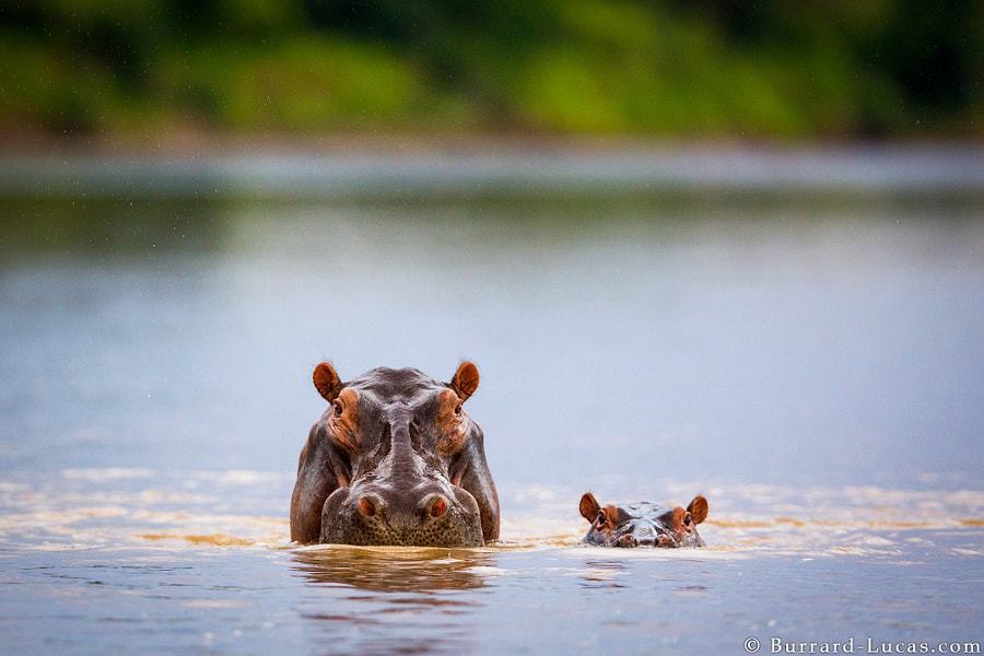 Hippo Mum and Baby by Will Burrard-Lucas on 500px.com