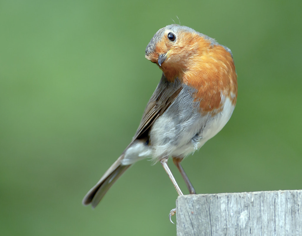 Photograph robin by TomMelton on 500px
