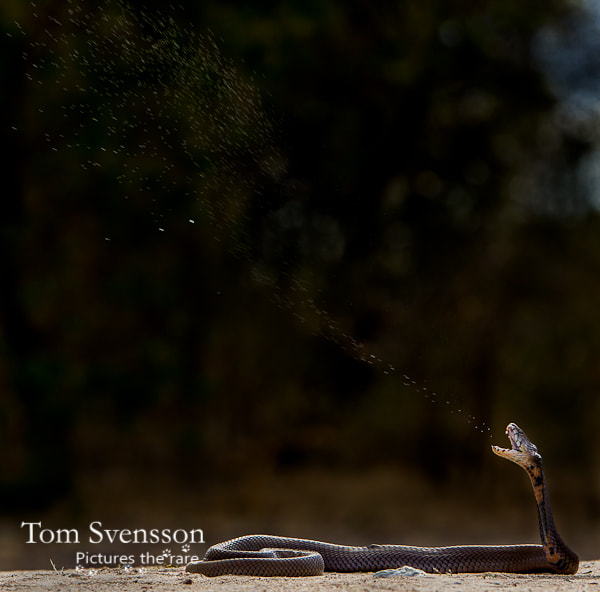 Photograph Spitting by Tom Svensson on 500px