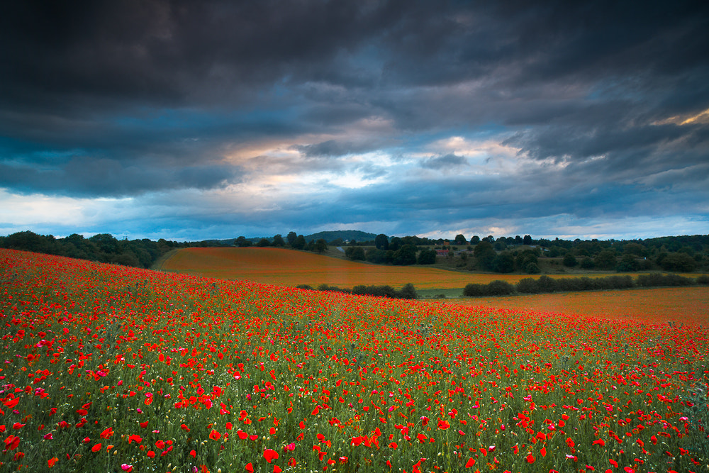 Photograph Moody Poppies..... by Keith Burtonwood on 500px