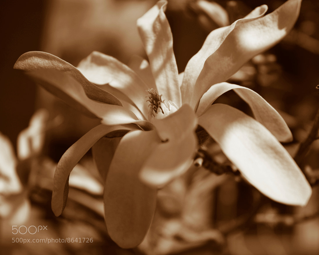 Photograph Star Magnolia by Rich Gaskill on 500px