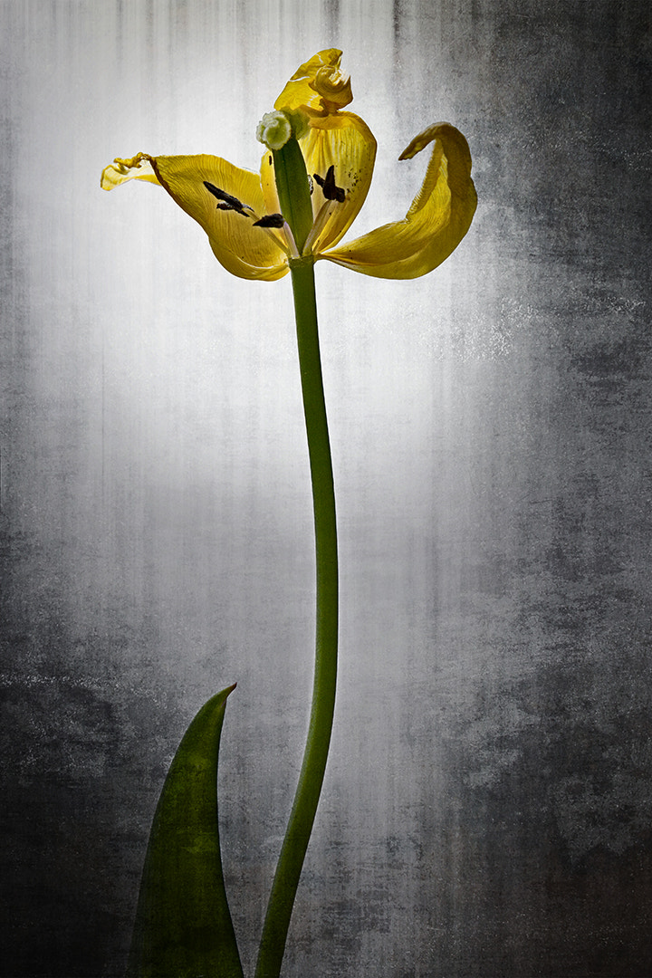 Photograph Fading beauty 2 by Unni Brekke on 500px