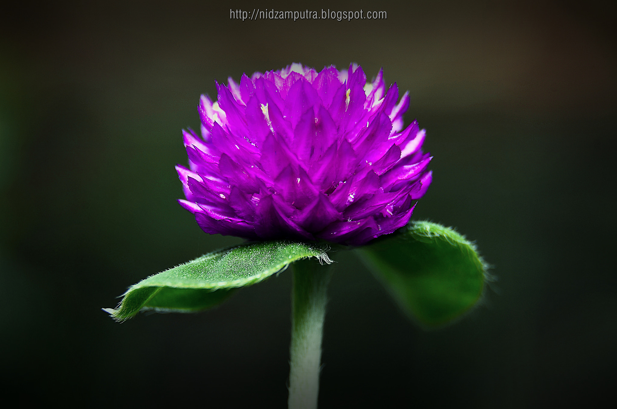 Photograph purple by Saiful Nizam on 500px