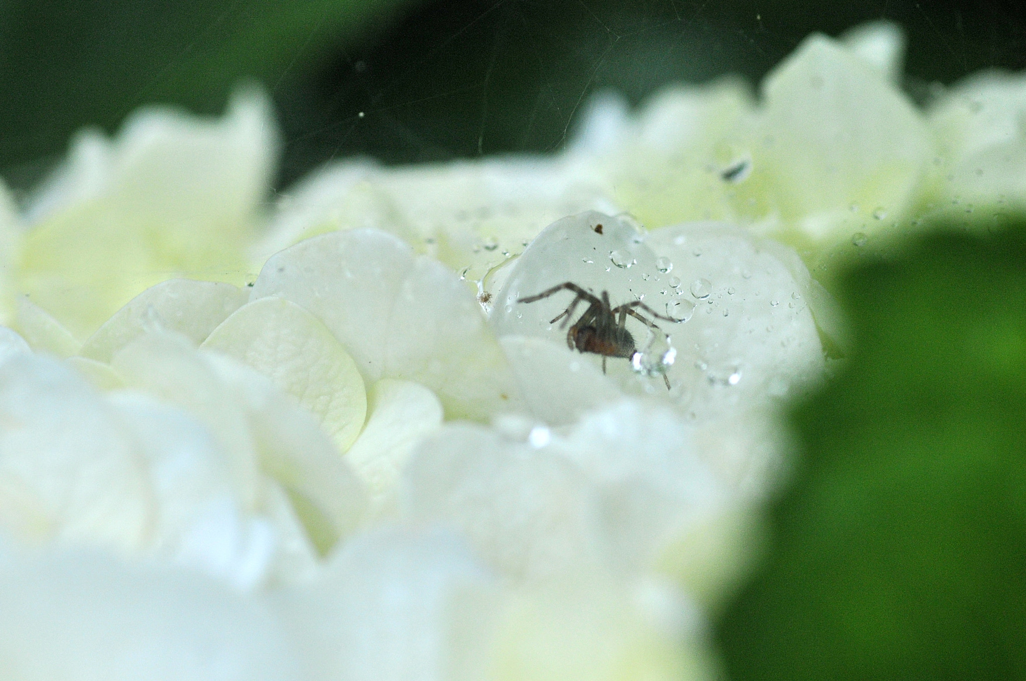 Photograph Except for rain in the hydrangea -2 by KEN OHSAWA on 500px