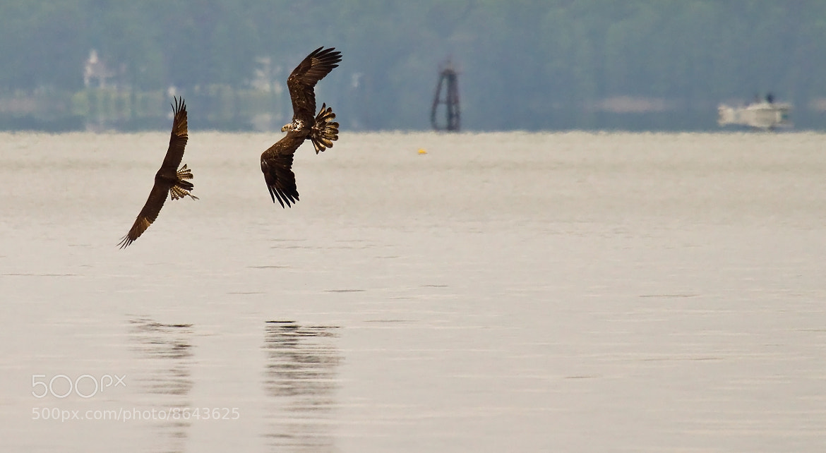 Photograph Eagle Chasing Osprey by Lorraine Hudgins on 500px