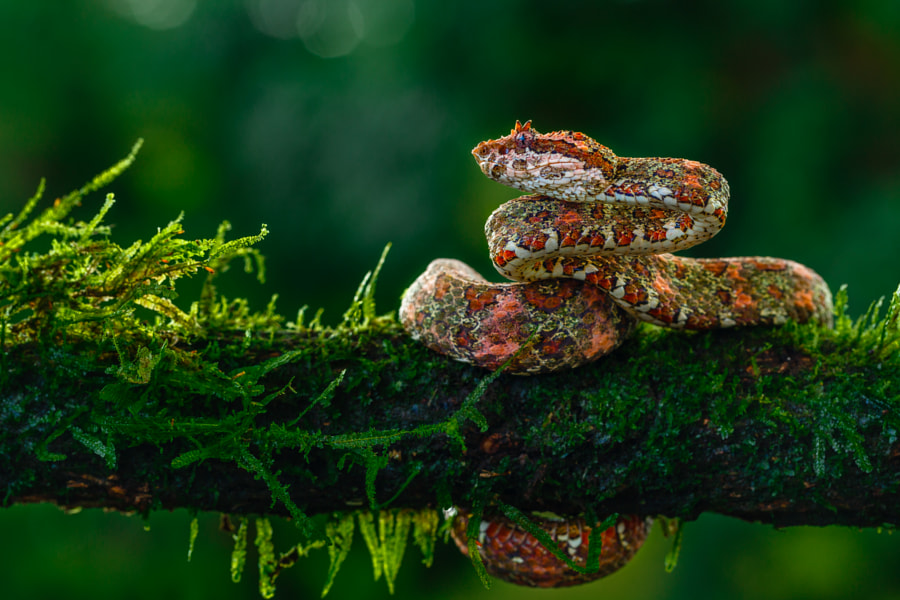 Photograph Eyelash viper by Peter Forster on 500px