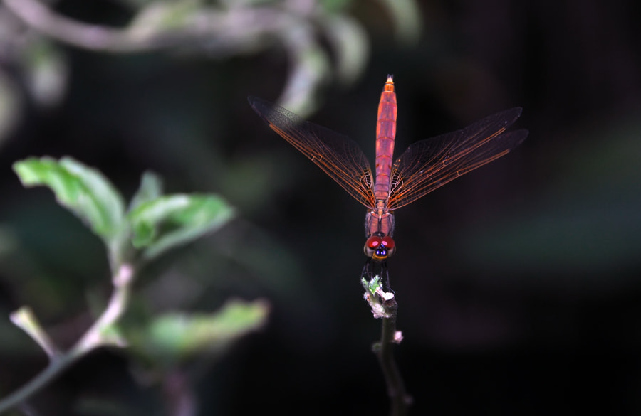 Photograph Dragonfly 2 by Khoo Boo Chuan on 500px