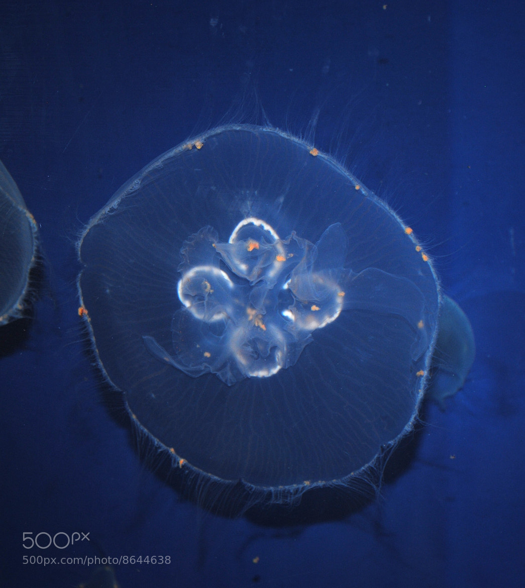 Photograph moon jelly by beka 3000 on 500px